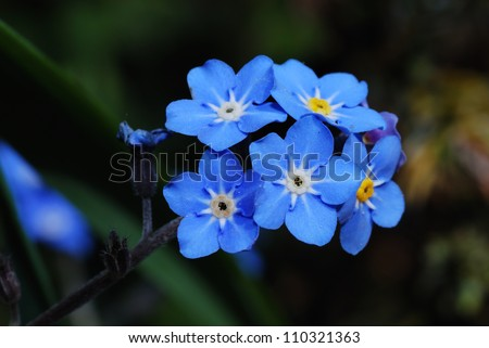 fresh blue forget-me-not flower show details - stock photo