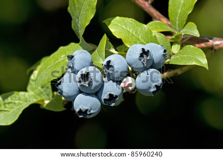 Fresh blueberries in orchard - stock photo