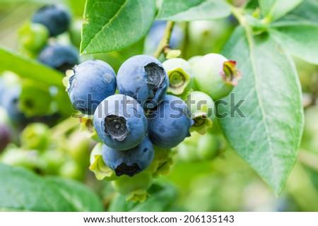 Fresh blueberries on the bush ready to pick - stock photo