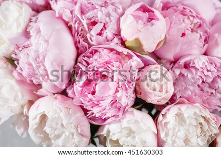 fresh bright blooming peonies flowers with dew drops on petals. white and pink bud - stock photo