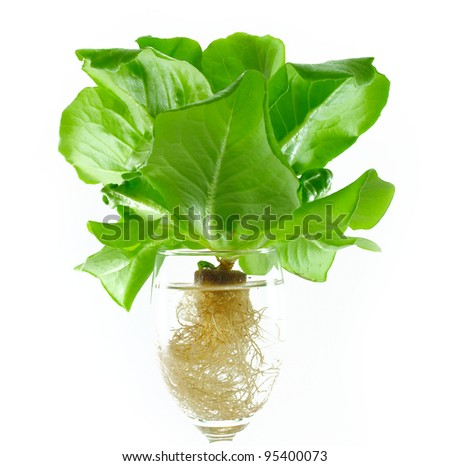 fresh butterhead in wine glass over white background - stock photo