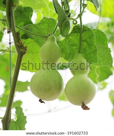 Fresh calabash hanging in the garden - stock photo