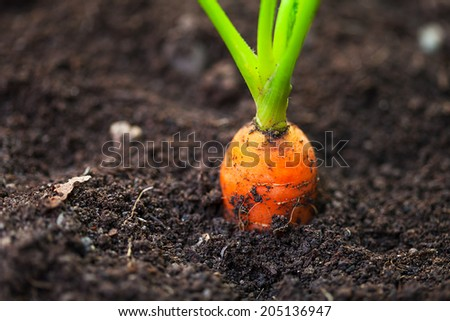 Fresh carrot in soil. Macro image with selective focus. - stock photo