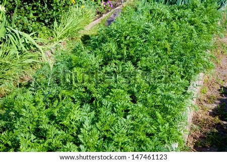 fresh carrots growing in the garden - stock photo