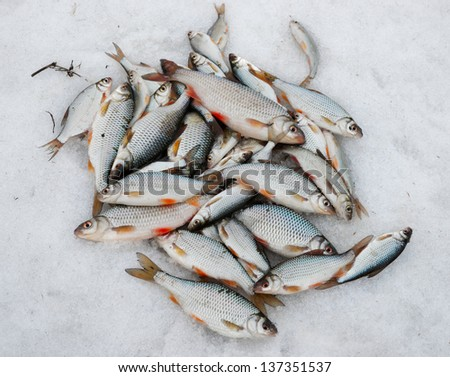 Fresh catch - a lot of fish, mainly roaches, on snow - stock photo