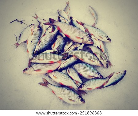Fresh catch - a lot of fish, mainly roaches, on snow, toned picture - stock photo