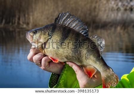 Fresh caught big perch - stock photo