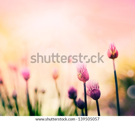 Fresh chives flower over colorful background. Spring or summer floral background - stock photo