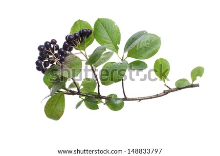 fresh chokeberry brunch isolated on white background - stock photo