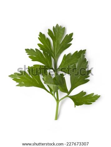 Fresh cilantro isolated on white background - stock photo