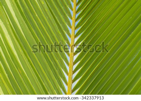 Fresh coconut palm frond/leaf in tones of green, yellow and brown, for use as an advertisement background/message. - stock photo