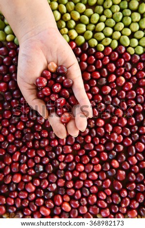 Fresh coffee bean in hand on red berries coffee backgourng - stock photo