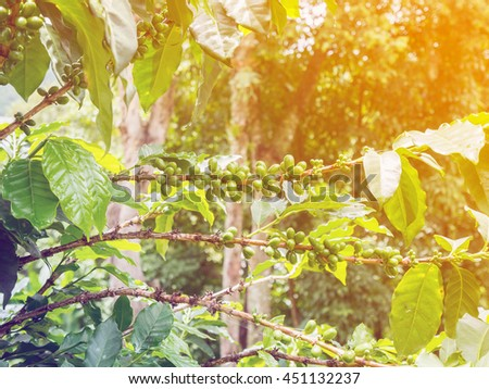 fresh coffee beans in coffee plants tree - stock photo