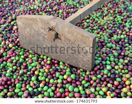 fresh coffee berries and harrow - stock photo