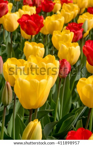 Fresh colorful tulips in the park, selective focus  - stock photo
