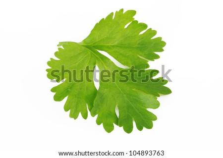 Fresh coriander leaf isolated on white background. - stock photo