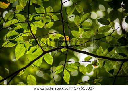 Fresh crisp green oval hornbeam tree leaves backlit - stock photo