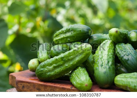 Fresh cucumbers picked from a garden in the countryside - stock photo