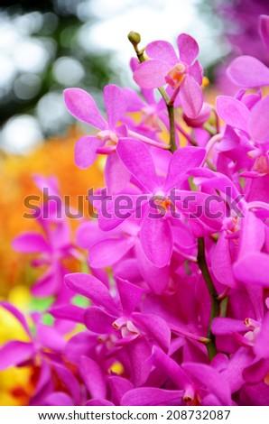 Fresh Cut of Thailand Beautiful Mokara Orchid, Thai Tropical Flower. - stock photo