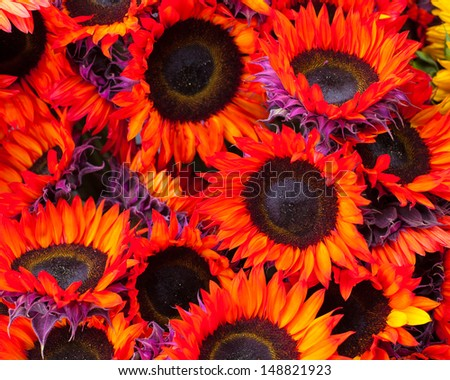 Fresh Cut Sunflowers - stock photo