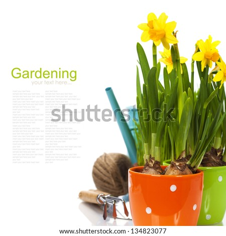 fresh daffodils and garden tools over white (with easy removable sample text) - stock photo