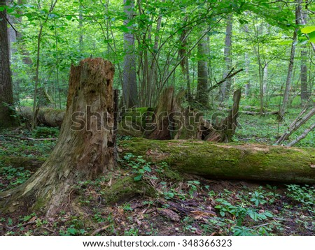 Fresh deciduous stand of Bialowieza Forest in springtime with dead broken spruce tree in foreground,Bialowieza Forest,Poland,Europe - stock photo