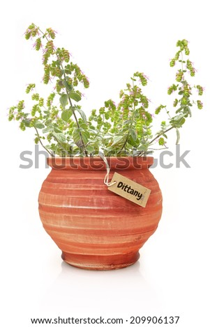 Fresh dittany plant in a clay pot - stock photo