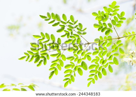 Fresh edible moringa leaves - stock photo