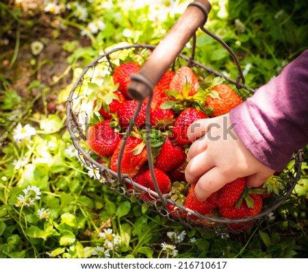 Fresh farm strawberries in a basket on the lawn and kid's hand - stock photo