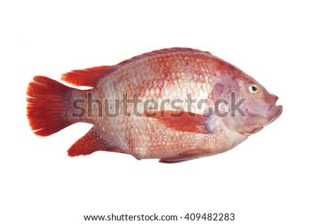Fresh fish isolated on the white background. - stock photo