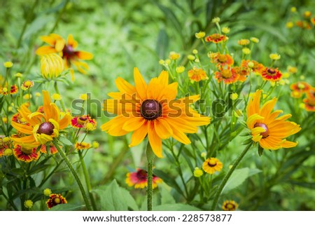 Fresh flowers coneflower in garden and grass - stock photo
