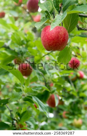 Fresh fruit food apples hang in the orchard waiting to ripen - stock photo
