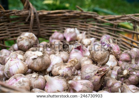 Fresh garlic from the recent harvest in the wicker basket - stock photo