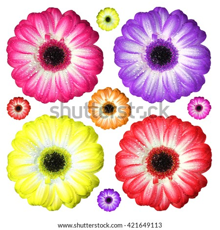 fresh gerbera flowers in various colors, isolated on white background - stock photo