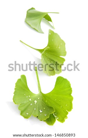 Fresh ginkgo biloba leaves with dew isolated on white background. Alternative medicine, holistic concept, healthy lifestyle. - stock photo