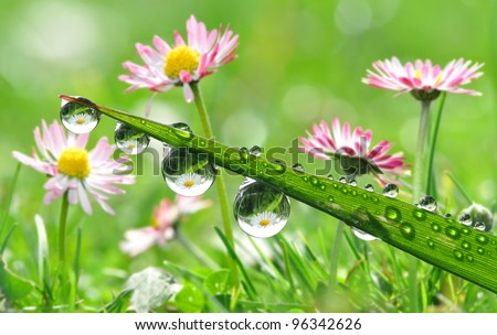 Fresh grass with dew drops in the background of the daisies - stock photo