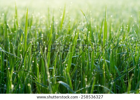 Fresh grass with dew drops in the morning. - stock photo