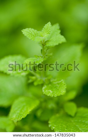 fresh green aromatic mint lemon balm  peppermint macro closeup garden summer - stock photo