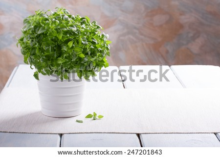Fresh green basil  in a white pot. - stock photo