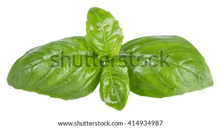 fresh green basil top leaves with water drops  isolated on white background closeup. Seasoning aromatic herb basil - stock photo