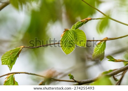 Fresh green beech leaves in the spring - stock photo
