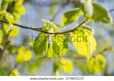 Fresh green beech leaves in the springtime - stock photo