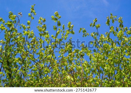 Fresh green beech leaves on blue background - stock photo