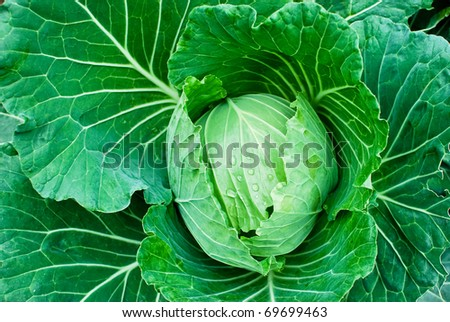 fresh green cabbage closeup details as a background - stock photo