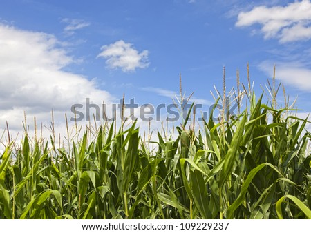 fresh green corn field with maize against blue sky on a sunny summer day - stock photo