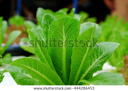 Fresh green cos salad vegetable growing on white foam, using hydroponic system for food background - stock photo