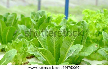 Fresh green cos vegetables growing green house using hydroponic watering system for modern farming background  - stock photo