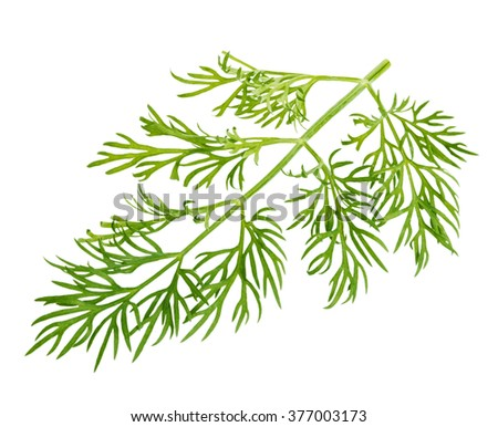 Fresh green dill close-up isolated on a white background. - stock photo
