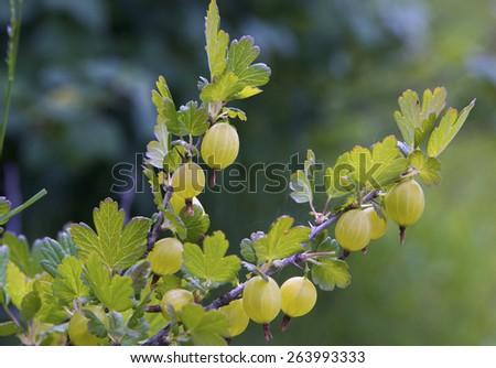 Fresh Green Gooseberries On A Branch Of Gooseberry Bush - stock photo