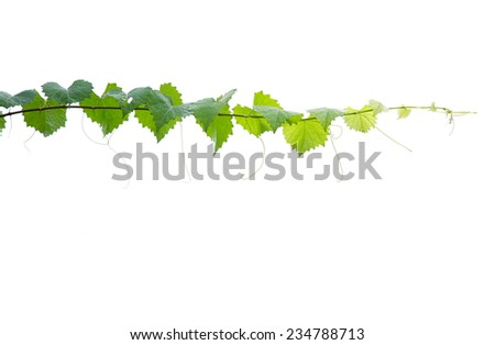 Fresh Green Grape Leaf on isolated white Background - stock photo